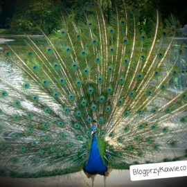 Peacock in the Royal Łazienki Park in Warsaw