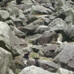 Mountain chamois, Glendalough